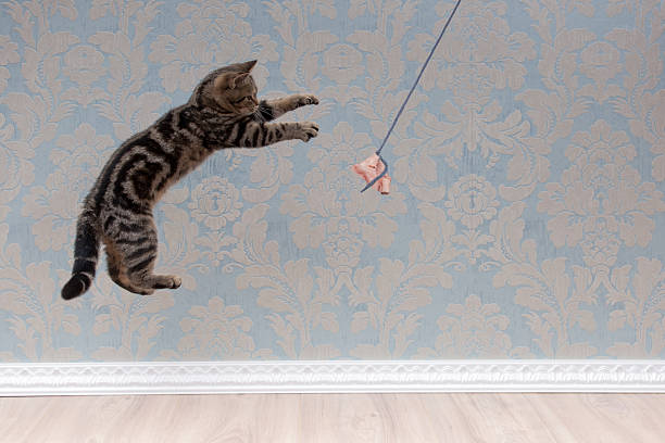 British shorthair cat plays and jump picture id618210628?b=1&k=6&m=618210628&s=612x612&w=0&h=w75ctfuv8z5jiq5mqyhzkej 8fhqxusppkjxgdedn3y=