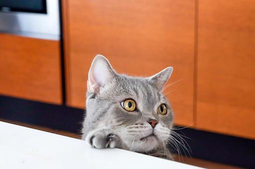 British shorthair cat posing on the marble kitchen desk