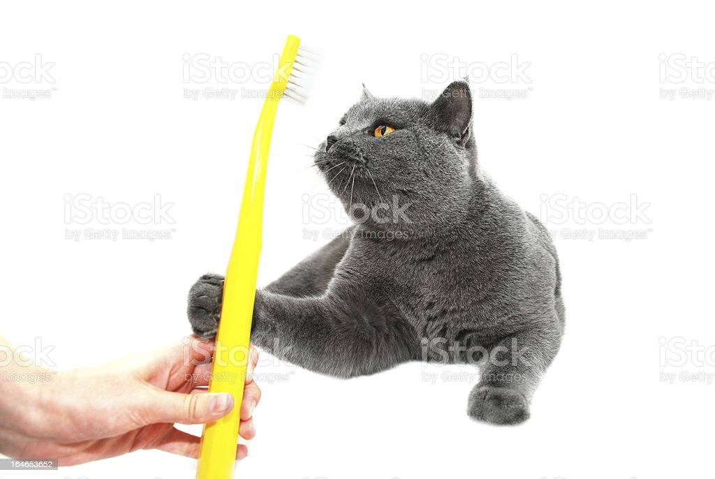 British Shorthair cat reaching for a toothbrush royalty-free stock photo