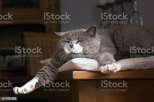 British shorthair cat wakes up on the table picture id517281333?b=1&k=6&m=517281333&s=612x612&h=gks7rejzcpmqigwvitcne8l8hrmxe7qlhzcosg51aqu=