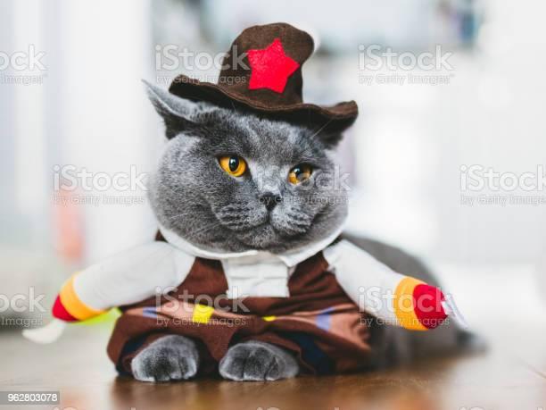British shorthair cat wearing a funny costume picture id962803078?b=1&k=6&m=962803078&s=612x612&h=iky mi00gdz2fsfh11bfooqrtcqf3qrozvw0xksi2ce=