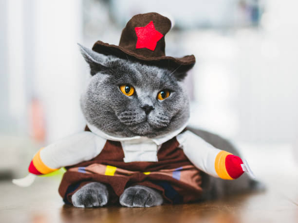 British shorthair cat wearing a funny costume Purebred cat wearing a funny costume, laying on the table. British shorthair. Halloween and carnival. halloween cat stock pictures, royalty-free photos & images