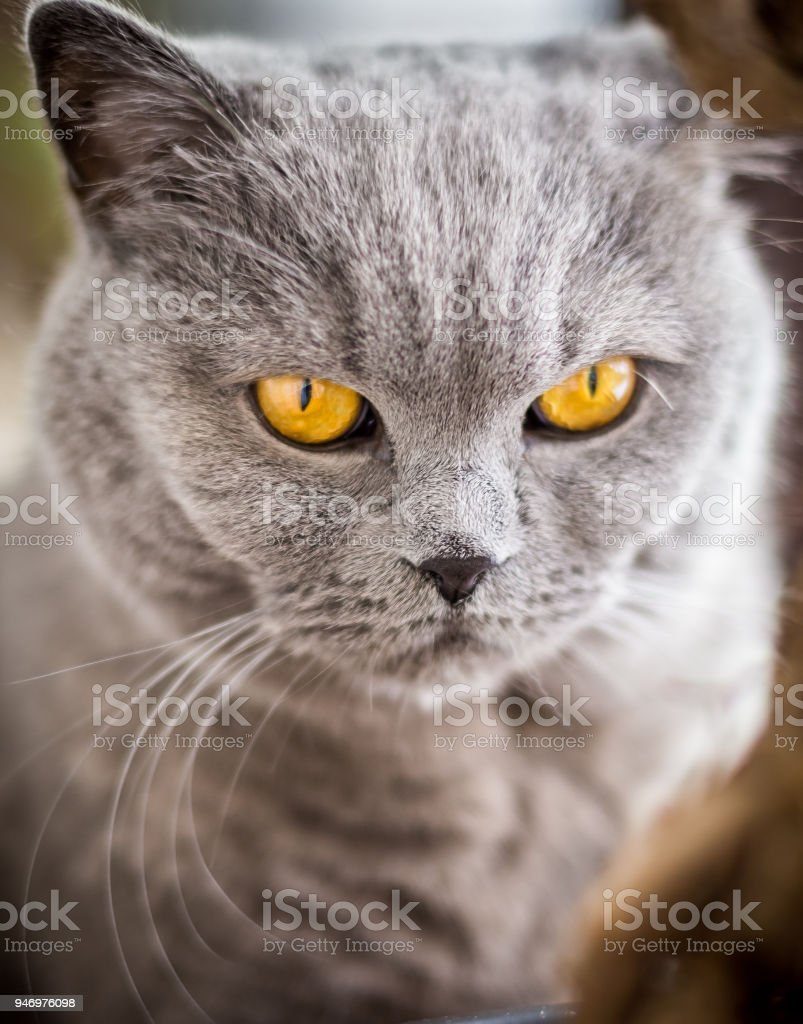 British Shorthair cat with blue and grey fur stock photo
