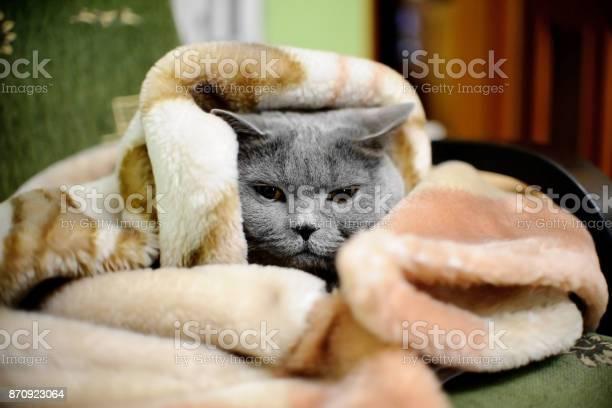 British shorthair cat wrapped in blanket picture id870923064?b=1&k=6&m=870923064&s=612x612&h=1aqgh4z9lfiqk4rsq1fm djh9ftuyrggtjg9wg2vspw=