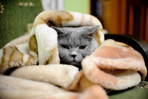 British shorthair cat wrapped in blanket British shorthair cat wrapped in blanket wrapped in a blanket stock pictures, royalty-free photos & images