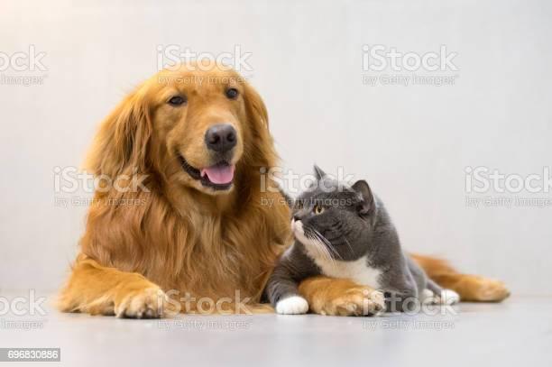 British shorthair cats and golden retriever picture id696830886?b=1&k=6&m=696830886&s=612x612&h=5himaqgo2eqti3lzge n6dopqxtm11lk3hzjg6ka7p4=