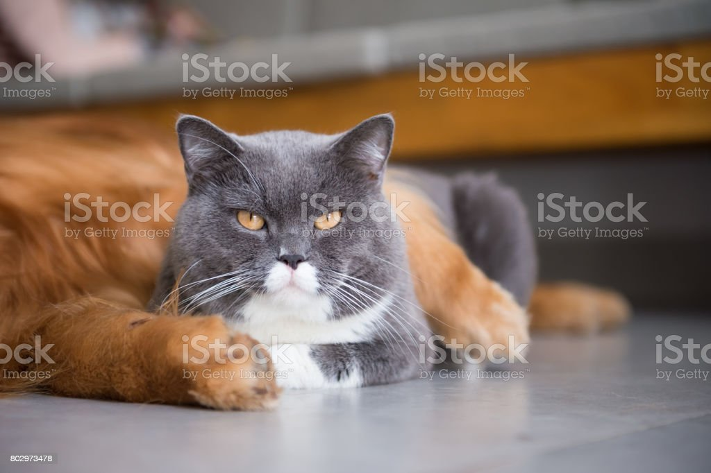 British Shorthair Cats And Golden Retriever Stock Photo & More