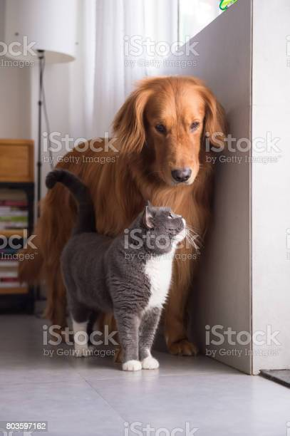 British shorthair cats and golden retriever picture id803597162?b=1&k=6&m=803597162&s=612x612&h=1bqowsahv7jq9gcwmlyyjm6jdzvib5dgd7cmhypxruw=