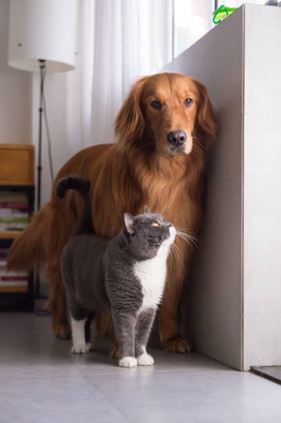 British shorthair cats and Golden Retriever British shorthair cats and Golden Retriever irish setter stock pictures, royalty-free photos & images