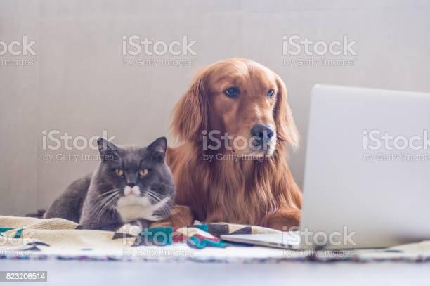 British shorthair cats and golden retriever picture id823206514?b=1&k=6&m=823206514&s=612x612&h=oxbwwfyfvziloeojzjwri9isy5eyzkiumd73sty28nc=