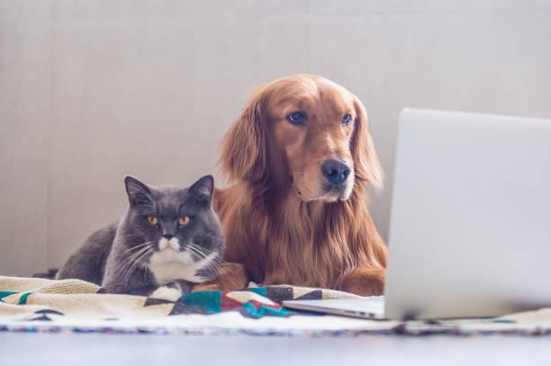 British shorthair cats and golden retriever picture id823206514?b=1&k=6&m=823206514&s=612x612&w=0&h=c5tbafshm4amrnj0mcnxpwzipvnx4vipiqwtw3lfpjc=