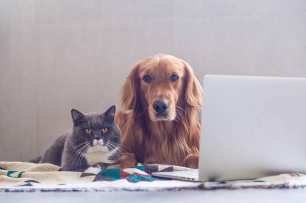 British shorthair cats and golden retriever picture id823206548?b=1&k=6&m=823206548&s=612x612&w=0&h=bntf4epsdiksodq96tshdswrt fvdgtmaxrf80pamue=
