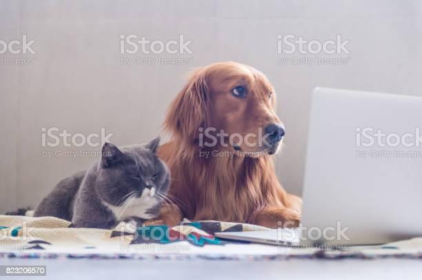 British shorthair cats and golden retriever picture id823206570?b=1&k=6&m=823206570&s=612x612&h=ztcxaq4wmym ckeme9 cjqlk a8csghabgmpl0e4ar0=