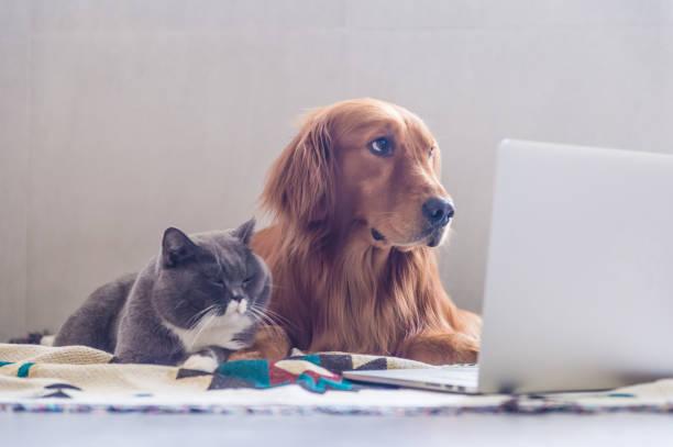 British shorthair cats and golden retriever picture id823206570?b=1&k=6&m=823206570&s=612x612&w=0&h=0469nmvqujr0jiy3lyu86cvjxefo3kmtisy2qk3j23e=