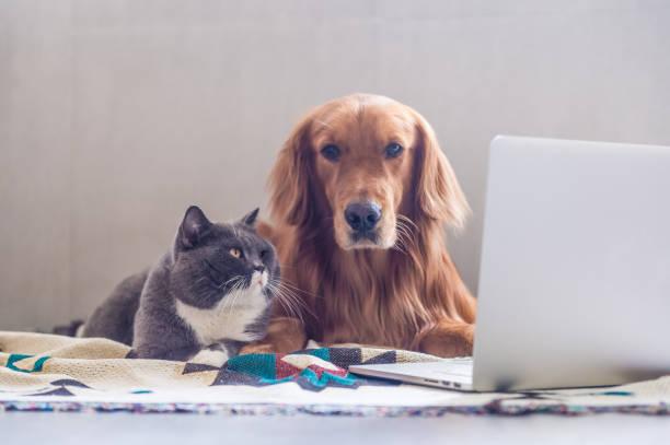 British shorthair cats and golden retriever picture id823206572?b=1&k=6&m=823206572&s=612x612&w=0&h=gkfmuuav6sesm2dwifv7kkeg74gpiwiacrynr1q4mly=