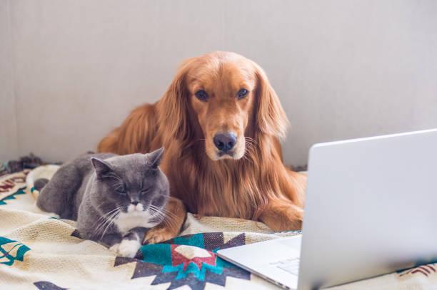 British shorthair cats and golden retriever picture id823206584?b=1&k=6&m=823206584&s=612x612&w=0&h=kdrxmlprzhjbm5aye2hspqmzgbnpeb3ymdct0h5nzvi=