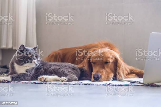 British shorthair cats and golden retriever picture id823206776?b=1&k=6&m=823206776&s=612x612&h=dkl52xag7a4tos8a7vx lmowisllkz7eppzt39kq1jo=