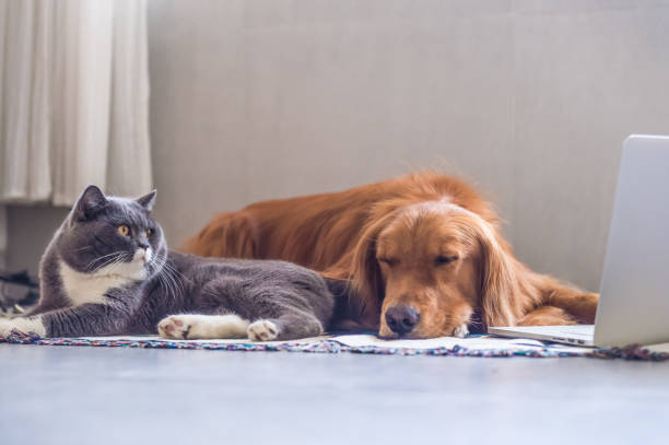 British shorthair cats and golden retriever picture id823206776?b=1&k=6&m=823206776&s=612x612&w=0&h=92sev2ifphnnxduyz6hagcgml2vxdyip96fcqhsrtbe=