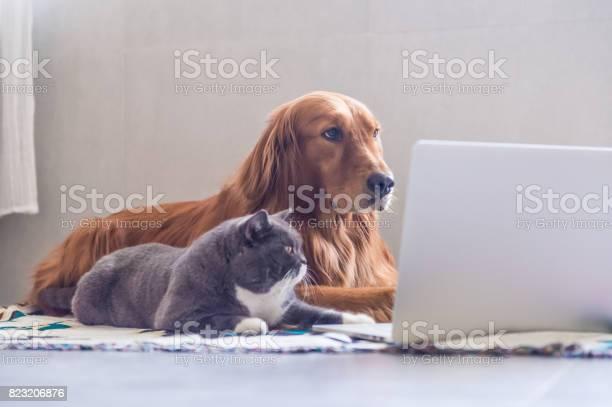 British shorthair cats and golden retriever picture id823206876?b=1&k=6&m=823206876&s=612x612&h=zfjxmvpfh37qn3czgo17xmrbjhxy6bxfafbr3wvlwf0=