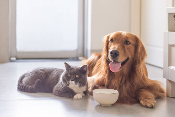 British shorthair cats and golden retriever picture id832115760?b=1&k=6&m=832115760&s=612x612&w=0&h=ooqr1fvmcreqwkwpkmrbggxl er4 jfvlypzdiz1oe8=