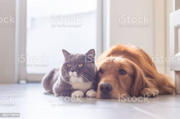 British shorthair cats and golden retriever picture id832115876?b=1&k=6&m=832115876&s=612x612&h=ieu4neyill5sveczkdlqc0q1iw7jc i1uoj m6nq 3k=