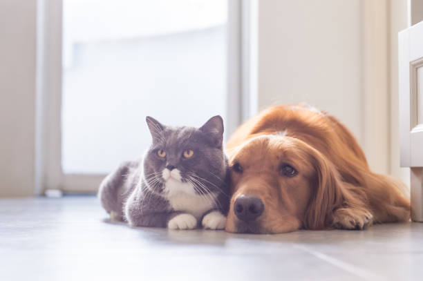 British shorthair cats and golden retriever picture id832115876?b=1&k=6&m=832115876&s=612x612&w=0&h=v74yivhrjy4imu0inec7r57wlndf189wiiygjt9ynwq=