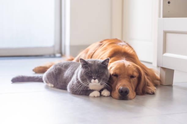 British shorthair cats and golden retriever picture id832115908?b=1&k=6&m=832115908&s=612x612&w=0&h=eq  8dtofnerubneacwca 3lnog2b nhfhtypkamhoy=