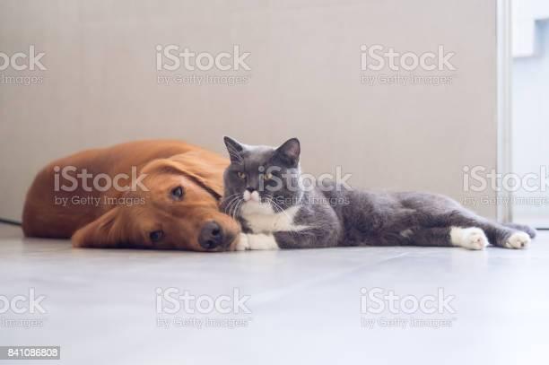 British shorthair cats and golden retriever picture id841086808?b=1&k=6&m=841086808&s=612x612&h= a6nsaozt2teofc7b4midtebajjgsn281sf p7xaktc=