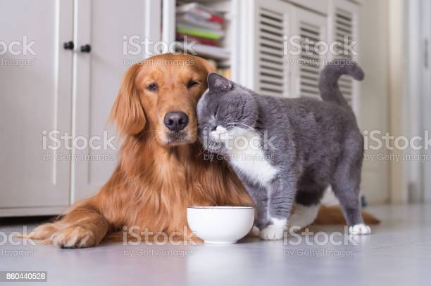 British shorthair cats and golden retriever picture id860440526?b=1&k=6&m=860440526&s=612x612&h=cpmh iwpaotm6tms3ag48wykugprhxlfvgzb5xs6lj8=