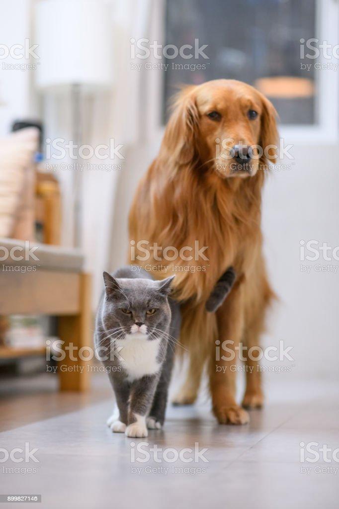 British shorthair cats and Golden Retriever stock photo