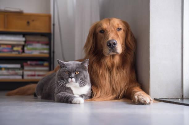British shorthair cats and golden retriever picture id915191206?b=1&k=6&m=915191206&s=612x612&w=0&h=cjoipgwnimhuktraox54 hl2gmlfk7  bdy2glydq3w=