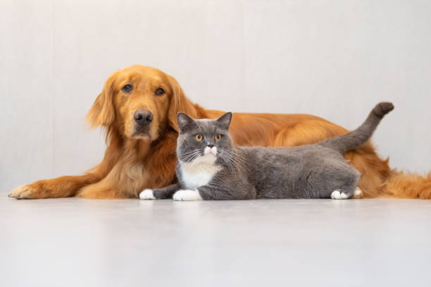 British shorthair cats and golden retriever picture id949461554?b=1&k=6&m=949461554&s=612x612&w=0&h=kh9qeitsayywp0r4gl7vsupantlspxypgjemdgvlqr8=