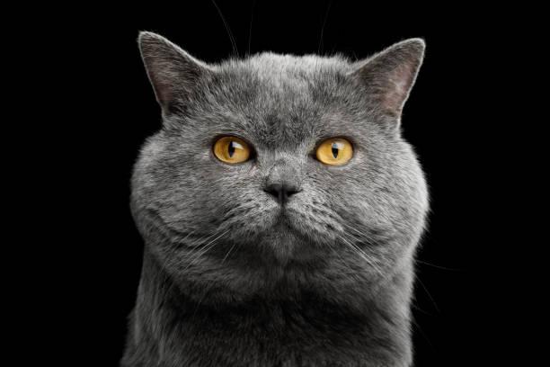 British shorthair grey cat with big wide face on black background picture id667379394?b=1&k=6&m=667379394&s=612x612&w=0&h=kulbc mvo8lyup njmftubpdyvwbmmpzsxtwmevdqz0=