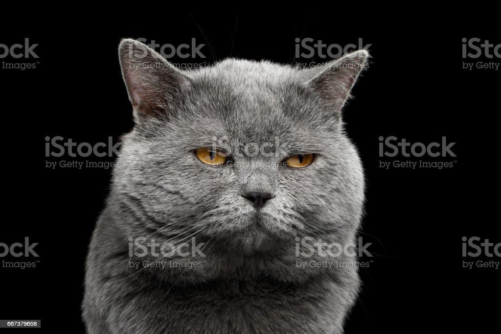 Gato shorthair britânico cinza com rosto largo grande em fundo preto - foto de acervo
