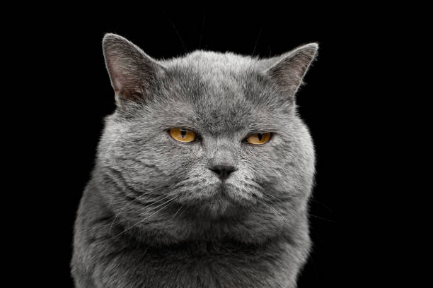 British shorthair grey cat with big wide face on Black background stock photo