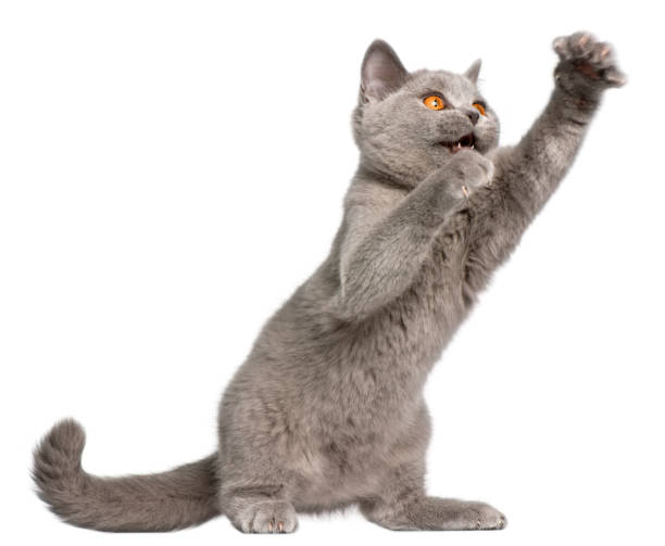 British Shorthair kitten, 3 months old, pawing in front of white background British Shorthair kitten, 3 months old, pawing in front of white background claw stock pictures, royalty-free photos & images
