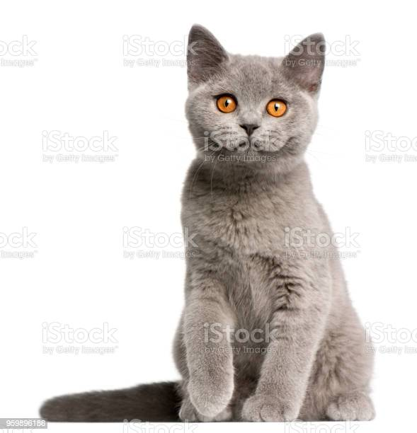 British shorthair kitten 3 months old sitting in front of white picture id959896186?b=1&k=6&m=959896186&s=612x612&h=rn9relqz4u4rs1fspvrm3ih0n4hfmbmgxt 5w irbyw=
