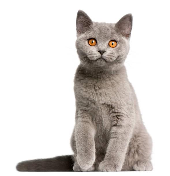 British shorthair kitten 3 months old sitting in front of white picture id959896186?b=1&k=6&m=959896186&s=612x612&w=0&h=xg8rxj1kspbm2xcga6z9dt7ivjlkssgsmoi4hjco hc=
