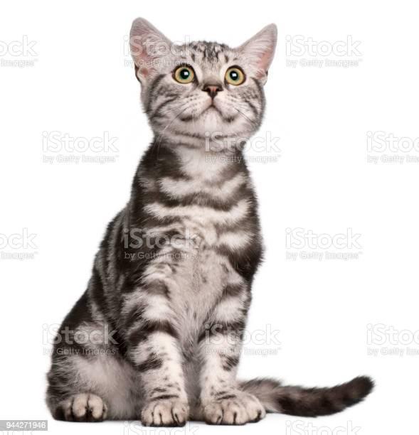 British shorthair kitten 4 months old sitting in front of white picture id944271946?b=1&k=6&m=944271946&s=612x612&h=bdmxtpbceilaqodbmkb4nkf785pperddlvnpjebst5g=