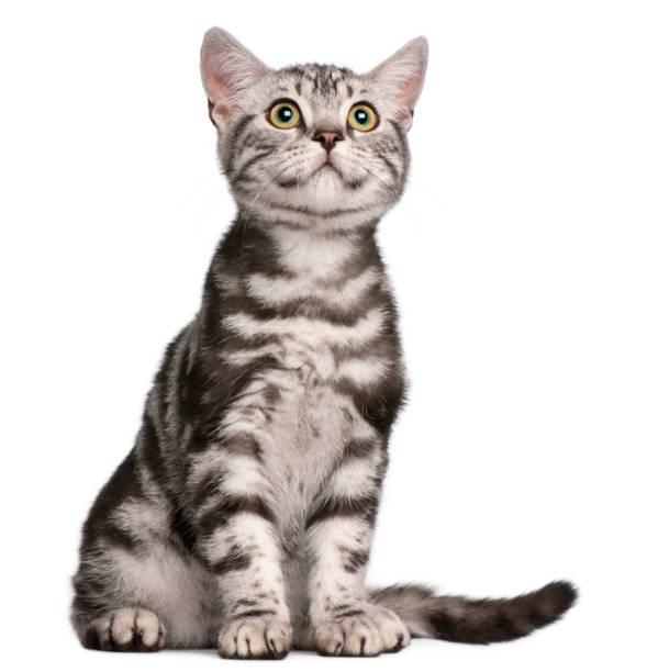 British shorthair kitten 4 months old sitting in front of white picture id944271946?b=1&k=6&m=944271946&s=612x612&w=0&h=qe61fhbi7ehnqxojm3xb6xtckqr6lxr gamyr0kbpmq=