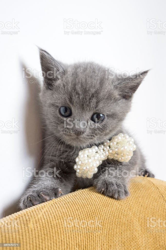 British shorthair kitten and pearl necklace stock photo