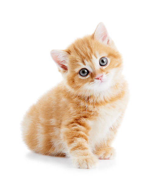British shorthair kitten cat isolated picture id126227182?b=1&k=6&m=126227182&s=612x612&w=0&h=e4lixpwx9zarokmm0 dohsbfyzztwdspldphltbel 8=
