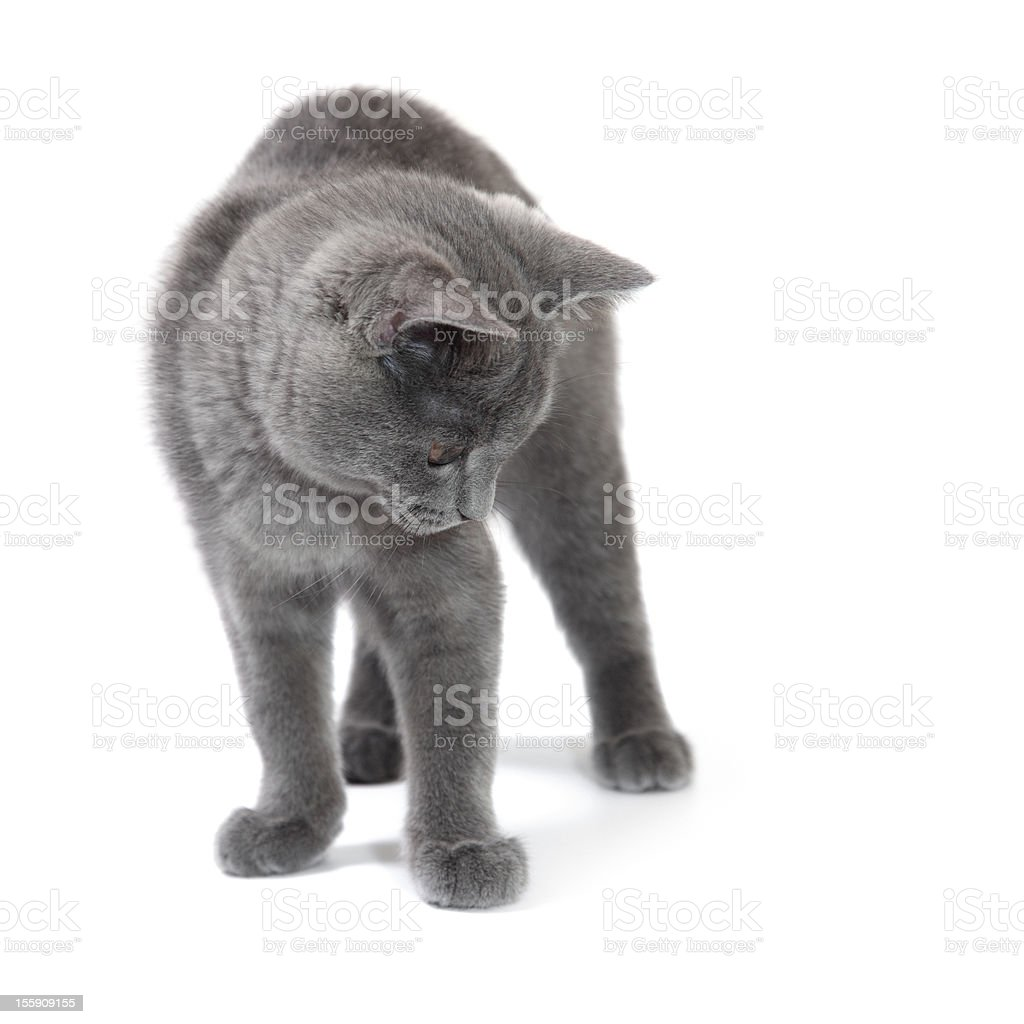 British shorthair kitten looking down, 4 months old. stock photo