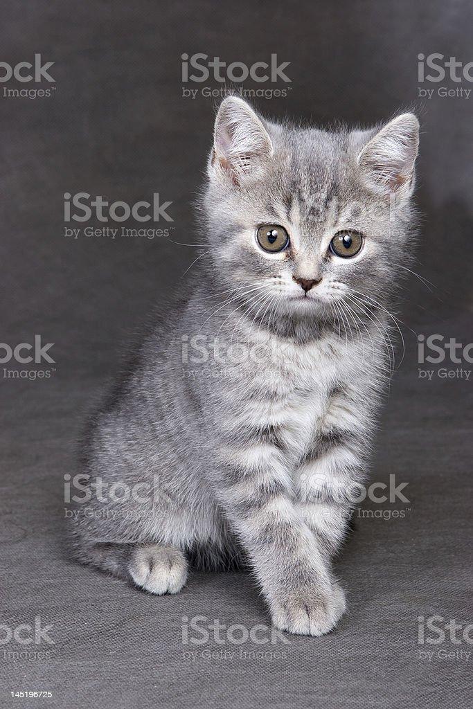 British shorthair kitten royalty-free stock photo