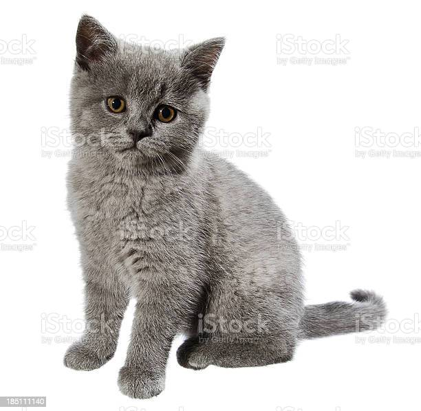 British shorthair kitten picture id185111140?b=1&k=6&m=185111140&s=612x612&h=dpt 9asul8thvxoh 7f8stpj2cmwwirfmucl1i7cmte=