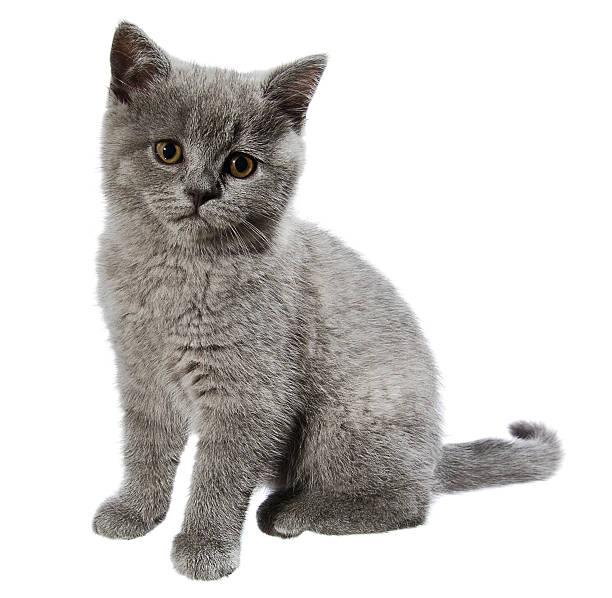 British shorthair kitten picture id185111140?b=1&k=6&m=185111140&s=612x612&w=0&h=ry bnp ypv5m9xz8i7jgyrgokzdnvlpguw4xarsqj58=