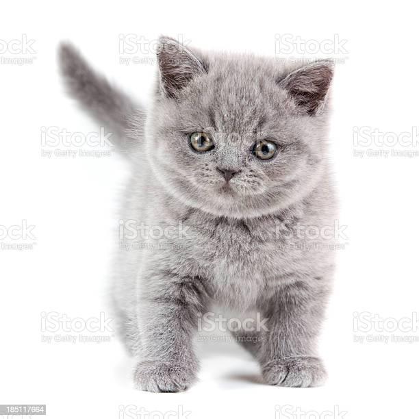 British shorthair kitten picture id185117664?b=1&k=6&m=185117664&s=612x612&h=qgvvzywyj 1vnz allwgcbtqfjxdxwd pq4bepjbgie=