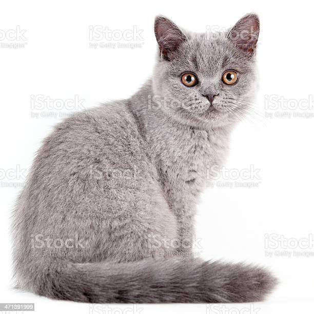 British shorthair kitten picture id471391999?b=1&k=6&m=471391999&s=612x612&h=3amjjhh4ha82dq7ookgnvjbheom9ctcwaiaih2e9nn0=