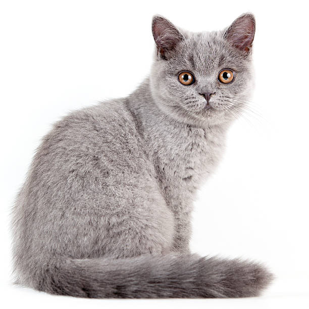 Britische Shorthair Katzenjunges – Foto