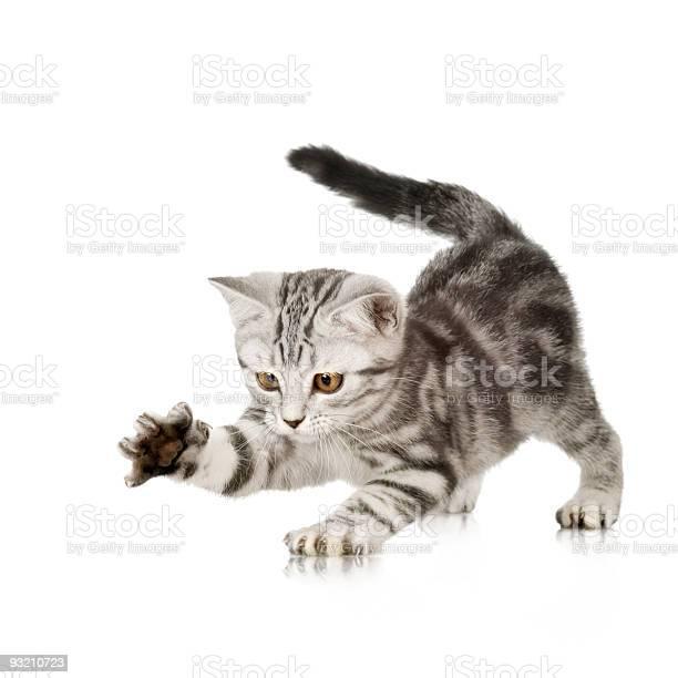 British shorthair kitten picture id93210723?b=1&k=6&m=93210723&s=612x612&h=eua1jhftywxm oiigzrgegrn1o1xis3ckayu2kbsnry=